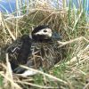 Long-tailed Duck Female on Nest Photo