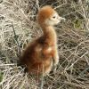 Sandhill Crane Chick Photo