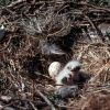 Rough-legged Hawk Chicks in Nest Photo