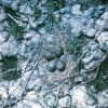 American Avocet Nest Photo