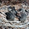 Great Blue Heron Chicks in Nest Photo