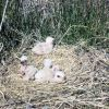 Marsh Hawk or Northern Harrier Chicks in Nest Photo