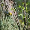 Prothonotary Warbler Photo