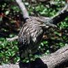 Black Crowned Night Heron (juvenile) Photo