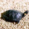 Bog Turtle Photo