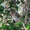 Pearly-eyed Thrasher (Puerto Rico) Photo