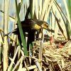 Yellow-headed Blackbird feeding young Photo