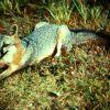 Gray Fox Photo