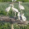 Wood storks on nest Photo