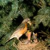 Robin with Chicks Photo