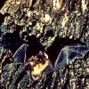 Little Brown Bats Photo