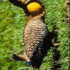 Attwater's Prairie Chicken Photo