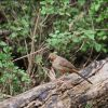 Brown Towhee (Pacific Coast) Photo