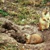 Black-tailed Prairie Dog Photo