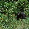 American Black Bear (Ursus americanus) Photo