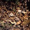 Cicada (Cicadidae) Photo