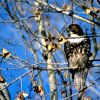 Cooper's Hawk (Accipiter cooperii) Photo