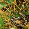 Eastern Ribbon Snake (Thamnophis sauritus) Photo