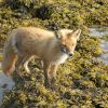 Fox looking for meal at low tide. Photo