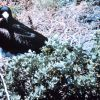 A male frigate bird (Frigata minor) with waddle deflated. Photo
