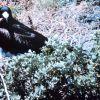 A male frigate bird (Frigata minor) with waddle deflated. Photo