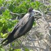A frigate bird up close. Photo