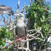 Red-footed booby. Photo