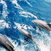 Dolphin in the bow wave of the NOAA Ship RUDE. Photo
