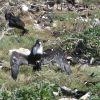 Frigate bird displaying wings Photo