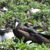 Frigate bird with chick Photo