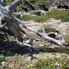 Sooty terns nesting Photo