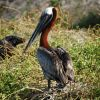 Pelican in nesting area. Photo