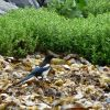 Black-billed magpie on the beach on Kodiak Island Photo