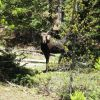 A moose seen just off the highway on Cameron Pass on Colorado Highway 14. Photo