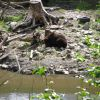 Brown bear at water's edge. Photo