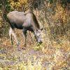 Moose. Photo