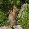 Ground squirrel. Photo