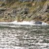 Humpback whale in close proximity to shore. Photo