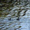 Harlequin ducks. Photo