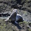 Harbor seal pup Photo