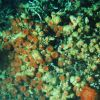 Large colony of orange sea anemones in lophelia coral Photo