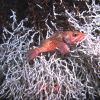 Deep sea fish. Blackbelly rosefish (Helicolenus dactylopterus). Also known as bluemouth rockfish and bluemouth seaperch. Photo