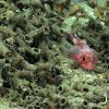 A small scorpionfish in Lophelia pertusa rubble Photo