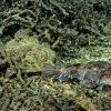 Goosefish on Lophelia pertusa rubble. Photo