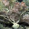A large white octocoral bush with yellow-green zoanthids, a pycnogonid sea spider, brittle stars, and a large brownish anemone to the bottom left in t Photo