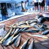 A charter boat unloads a catch of yellowfin tuna and dolphinfish. Photo