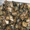 Buccinum sp (whelk) for sale at Shiogama market in Japan. Photo