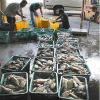 Moi, Pacific threadfin, being sorted for market after harvest from an offshore aquaculture cage in Hawaii. Photo