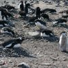 All three study species of penguins at the Copacabana field station on King George Island. Photo