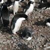 Adelie penguins incubating eggs. Photo